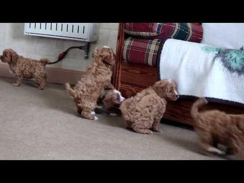 Cavapoo Puppies Near Me | FunnyCat TV