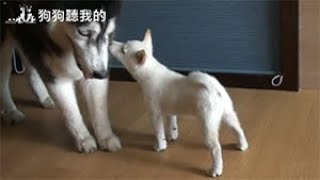 狗狗聽我的 - 如何制止幼犬咬手 (How to stop a puppy from biting)