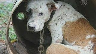 Бойцовым собакам лечат душевные раны (новости)(( http://ntdtv.ru ) Какова жизнь хуже собачьей, пришлось испытать на себе трёмстам питбулям, жившим в филиппинской..., 2013-04-08T11:51:55.000Z)