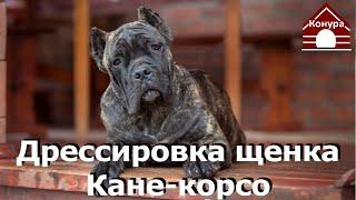Дрессировка щенка кане корсо Первая тренировка