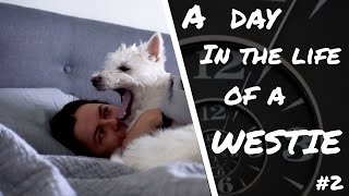 A DAY IN THE LIFE OF A WESTIE #2 | DWESTIE THE WESTIE