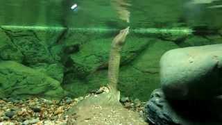 Трионикс - мягкотелая черепаха, умеющая дышать в воде...