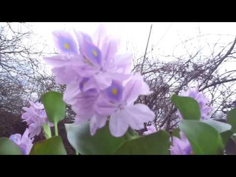 Буйное цветение водного гиацинта-эйхорнии в апреле в вазоне
