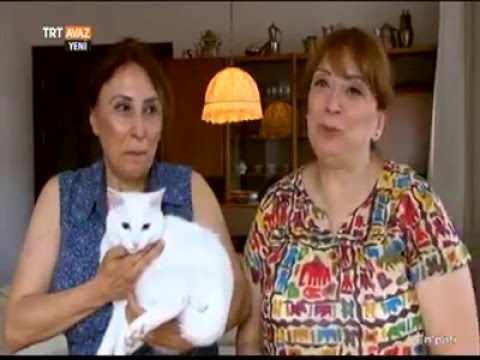 Van Kedisi - Turkish Van Cat