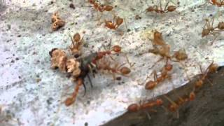 Giant Ants munch on Giant Fly