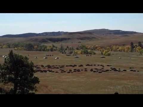 Buffalo Roundup 2010. Custer State Park South Dakota