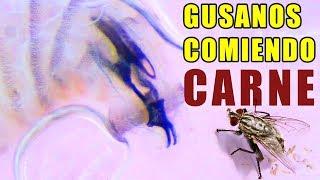 GUSANOS DE MOSCA COMIENDO CARNE BAJO EL MICROSCOPIO   Experimentos con Mike