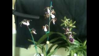 5/11/13 My First Time at The Oklahoma Orchid Society Show and Sale!