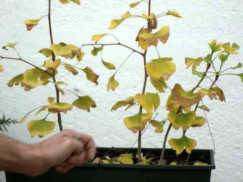 poda hojas ginko