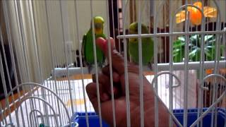 how to tame your 2 budgies
