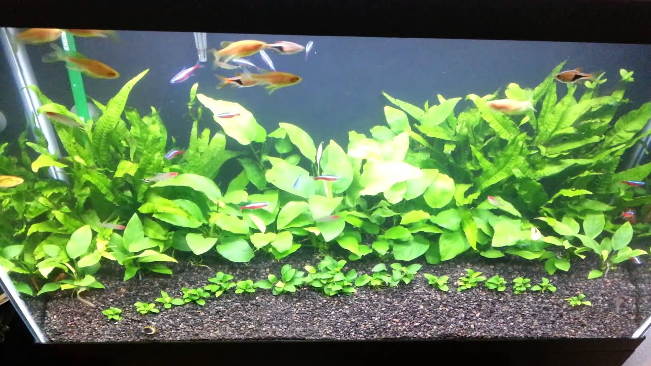 29 Gallon AnubiasJava fern Aquarium  YouTube