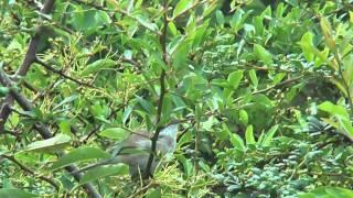 Lesser Whitethroat in the garden garden. (Sylviidae)(Yorkshire)UK
