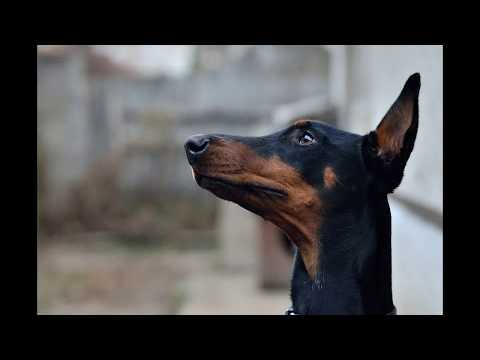 ***How to House Train a Doberman PInscher Puppy**FREE Mini Course Here***