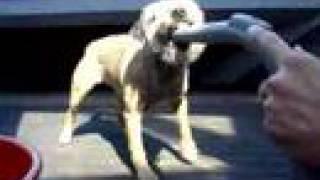 Border Terrier Fighting Hoover