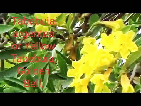 Tree and Flowers of Tababuia argentea or Yellow Tabebuia, Golden Bell, Silver Trumpet Tree
