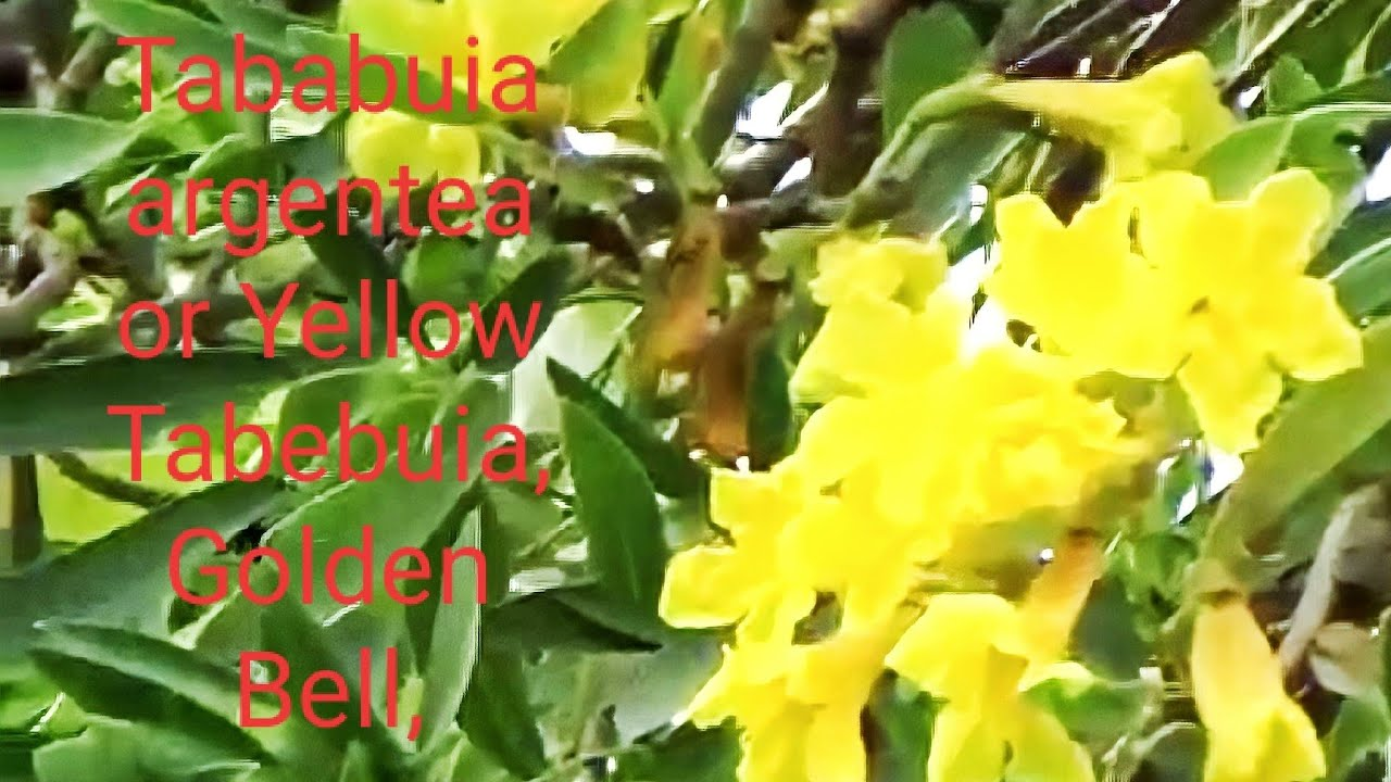 Tree and flowers of tababuia argentea or yellow tabebuia golden bell silver trumpet tree youtube premium mightylinksfo