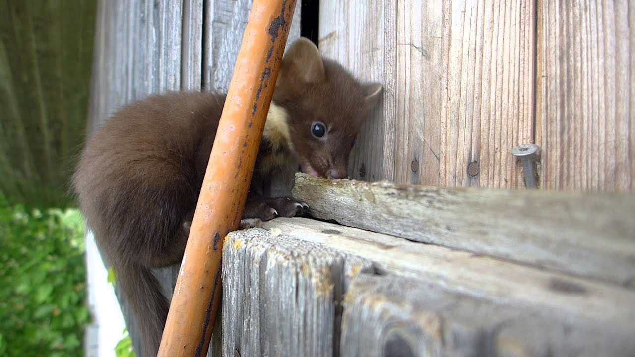 Free Summer Wallpaper Cute Baby Pine Marten Youtube