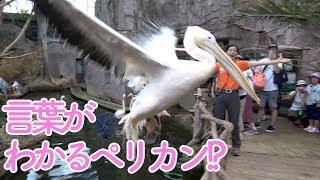 ボンゴとカシシの池に、隣の池から乱入したペリカンは、なんと言葉がわかる賢い鳥さんでした…! ? Can a pelican intrude from the adjacent pond understand...
