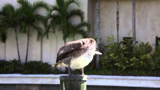 Video The Great Pelican Itch download MP3, 3GP, MP4, WEBM, AVI, FLV Agustus 2017