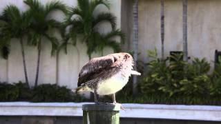Video The Great Pelican Itch download MP3, 3GP, MP4, WEBM, AVI, FLV November 2017