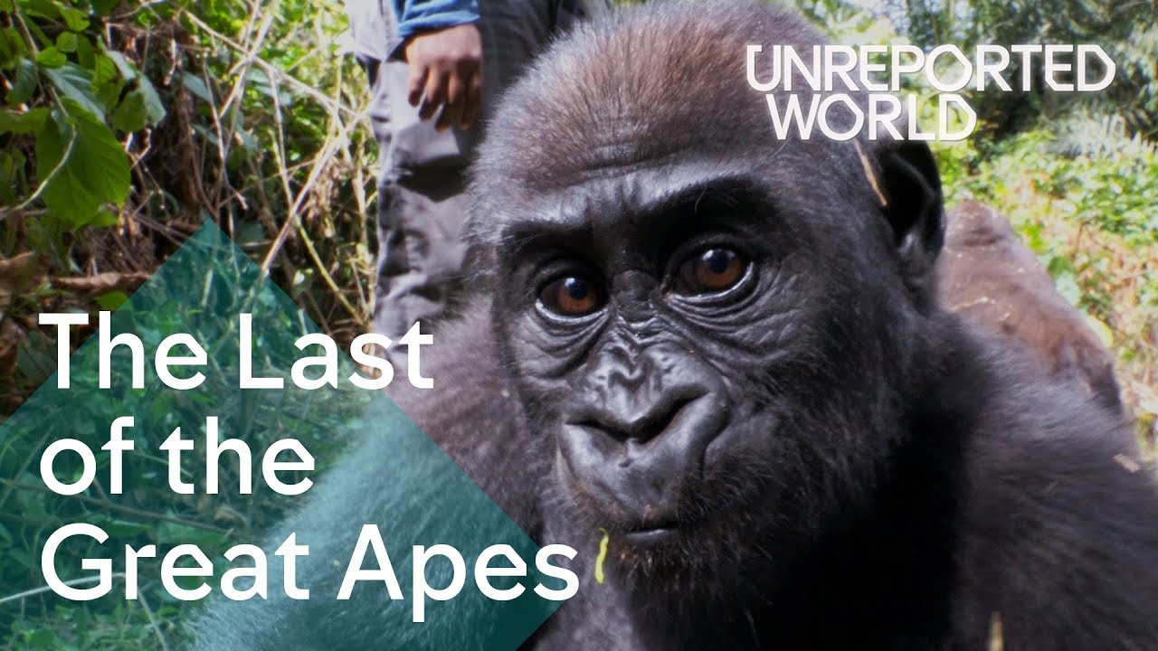 Critically endangered: The plight of Cameroon's Great Apes | Unreported World