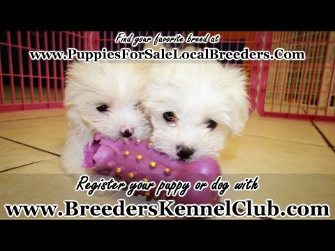 TEACUP MALTESE PUPPIES FOR SALE IN GEORGIA PUPPY BREEDERS