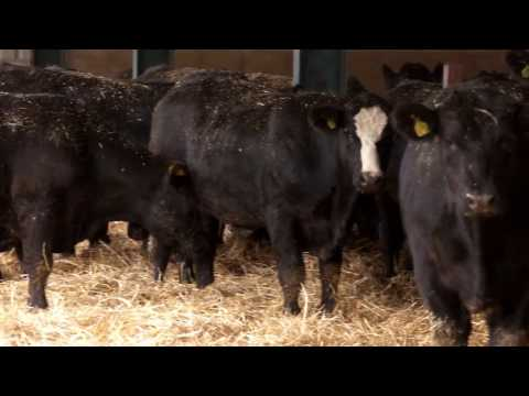 Beef Cattle Finishing Systems and Nutrition options