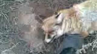 Казахская охота на лис с тазы