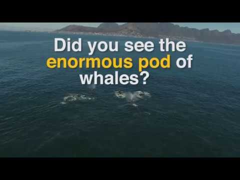 Drone footage captures pod of 60 humpback whales off Cape Town coast