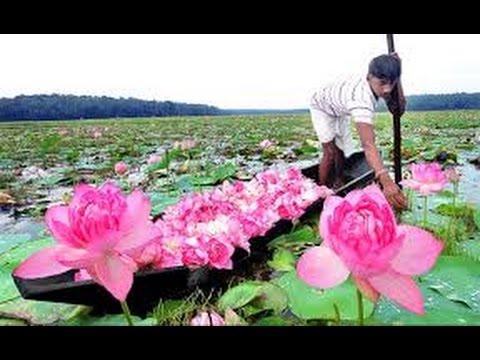 Malappuram Muslim Give Lotus For Temple Lovely Malappuram Lovely