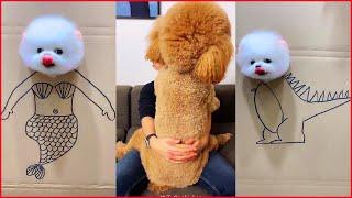 Tik Tok Chó Phốc Sóc Mini | Funny and Cute Pomeranian Videos #6