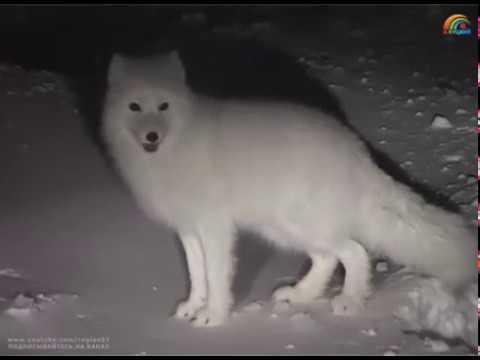 В черте города Анадырь. Песец нашёл под снегом красную рыбу. Чукотка. Арктика. 5 января 2007, 17:38.