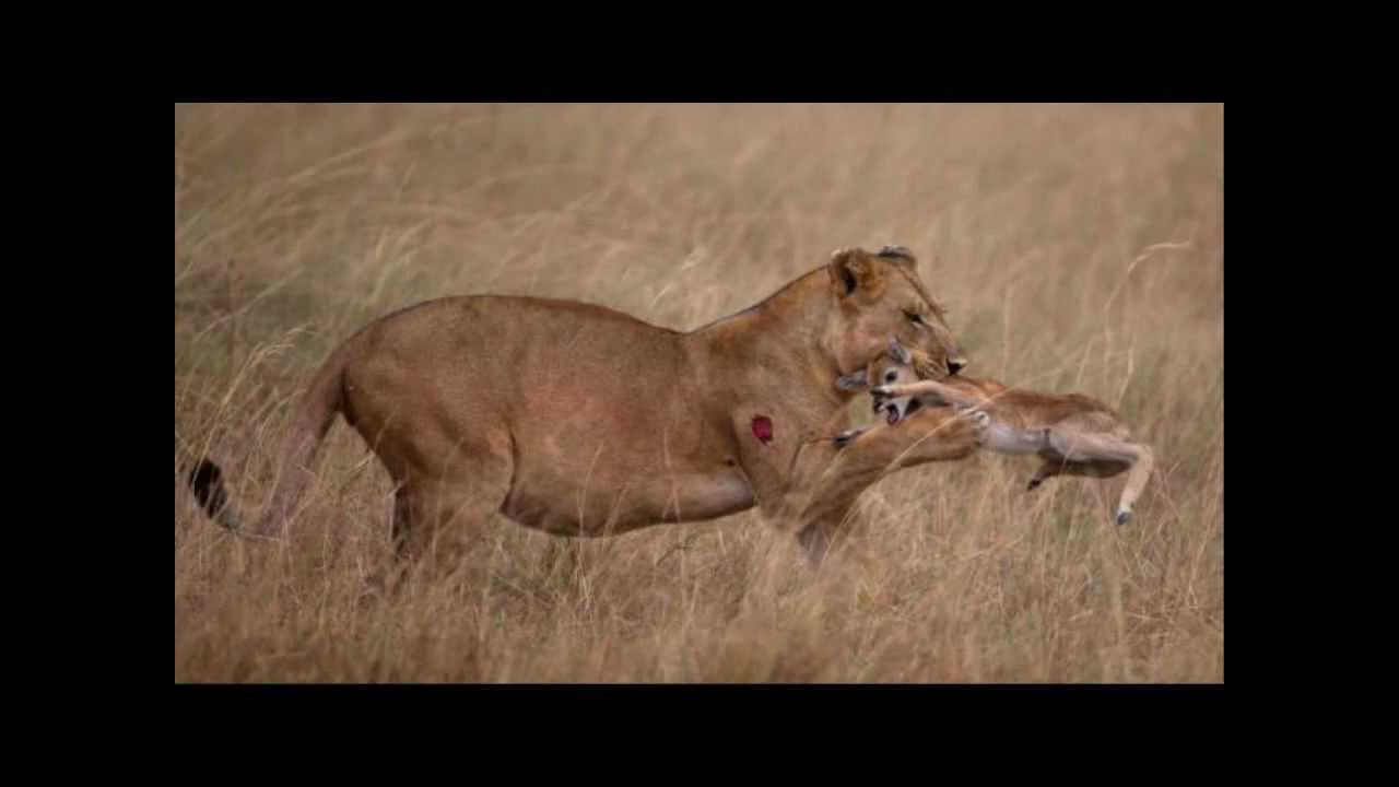 Did Lioness Really Befriend Baby Antelope? | Live Science