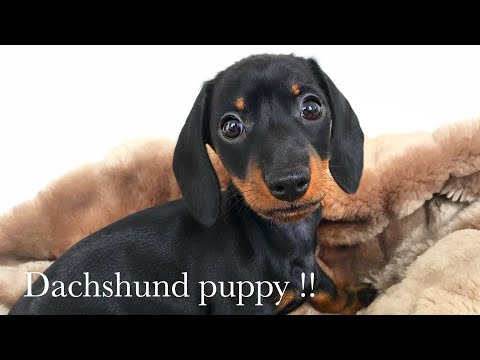 Dachshund puppy! 8 weeks old.