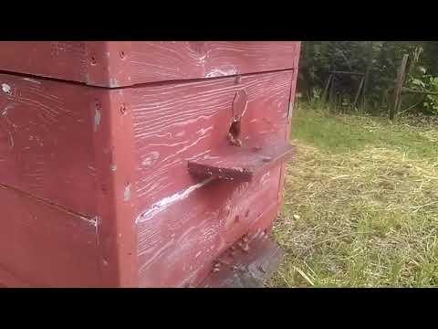 Откачает ли пчеловод майский мед в этом году
