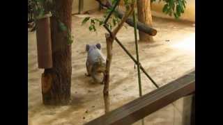 東山動物園でコアラを見てたら、1匹がおもむろに地面へスルスルッと下...