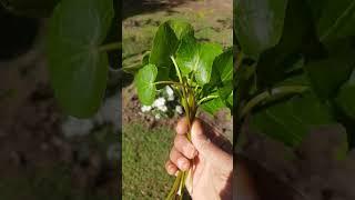 Gotu Kola - Centella Asiatica-1