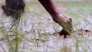 Quality Rice -- From Farm To Plate.flv