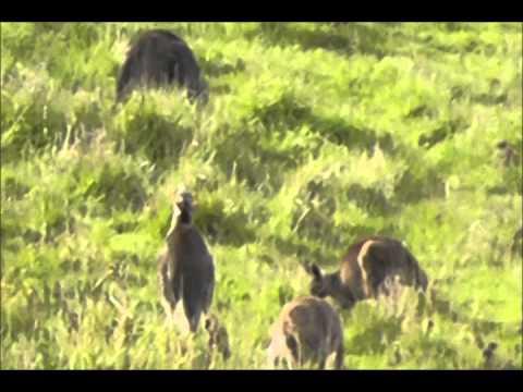 Victoria Wildlife kangaroos