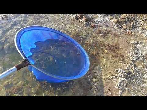 潮が引いたら海に出て、潮溜まり(タイドプール)の小魚すくいに挑戦しよう!  和歌山釣太郎