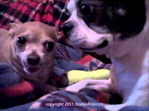 Sweet BOSTON TERRIER vs. Exorcist CHIHUAHUA! ~ wait for it ... (Original)
