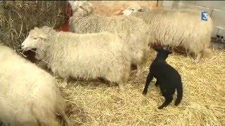 animaux du Puy du Fou au Salon de l'agriculture 2016
