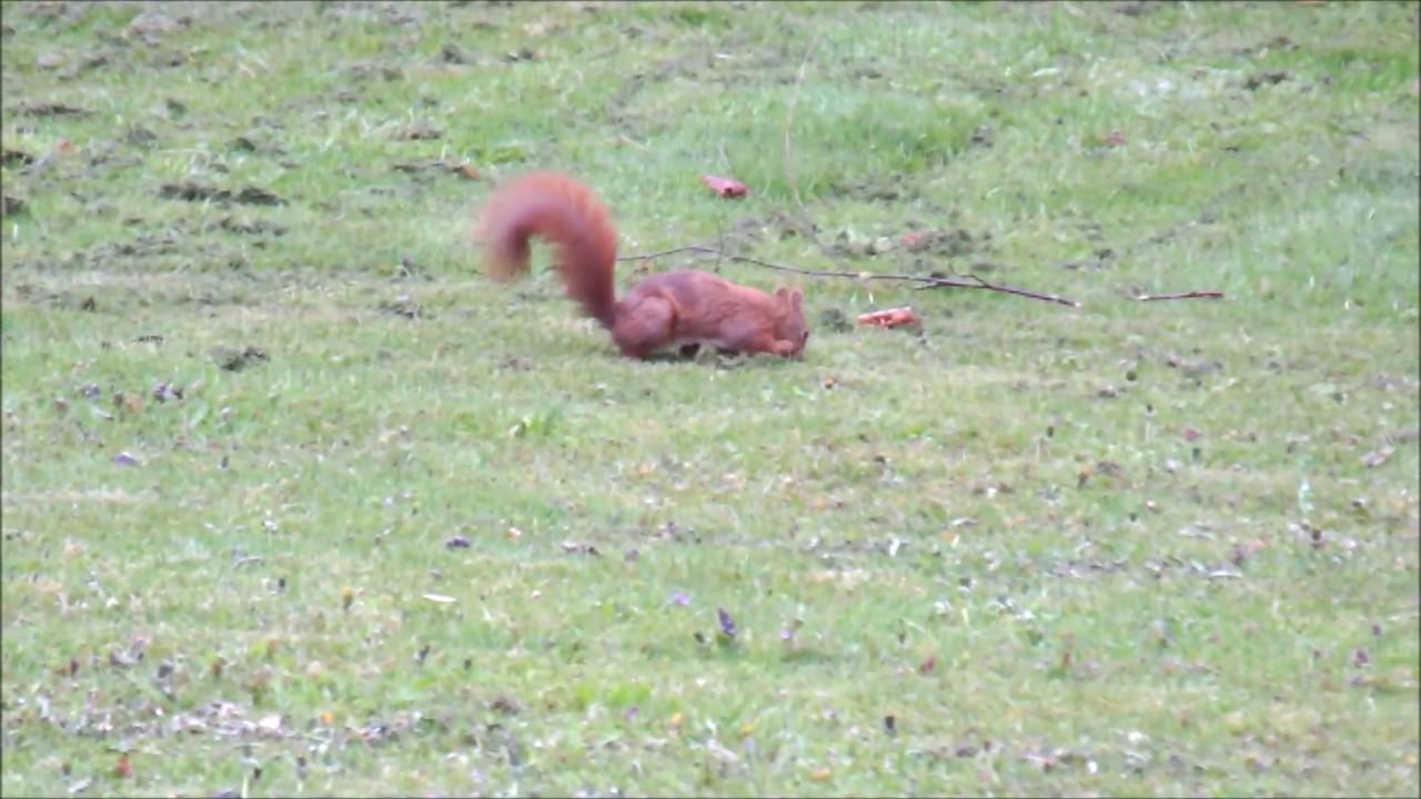 Eichhörnchen Im Garten : eichh rnchen im garten youtube ~ Watch28wear.com Haus und Dekorationen