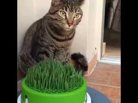Cat Eating From The Catit Grass Planter Cat Grass Youtube