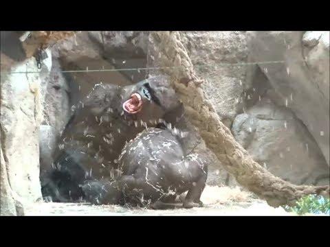 Silverback gorilla playing (PART 1/3)
