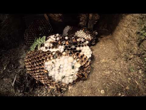 HornetHunter.com - Giant #KillerHornet Cannibals!