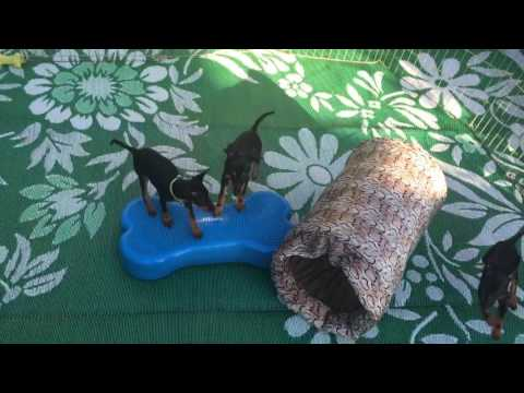 11 week old Toy Manchester Terrier puppies