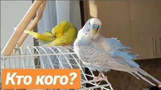 Правильная пара волнистых попугаев. Отношения в семье попугаев