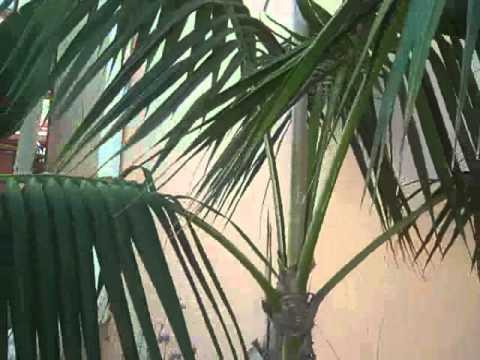 Stunted Kentia palm