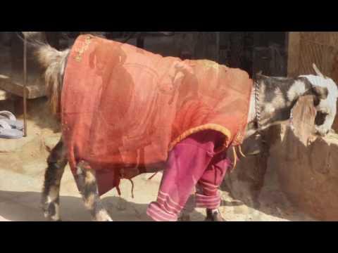The Best Dressed Goat in Varanasi - Amanda Richardson Artist